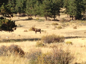 Male elk in the pasture at our campgrounds.